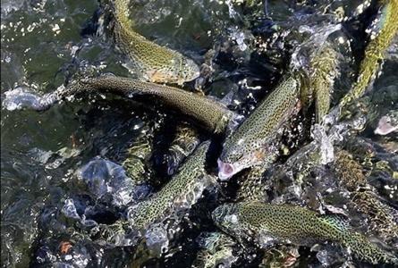 استخر پرورش ماهی قزل آلا,پرورش ماهی قزل آلا در منزل,انواع ماهی قزل آلا