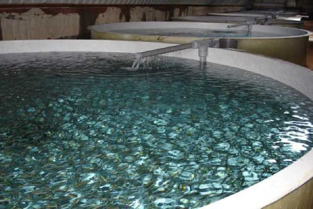 روش پرورش ماهی قزل آلا,پرورش ماهی قزل آلا دراستخرهای دو منظوره,پرورش ماهی قزل آلا درسد خاکی