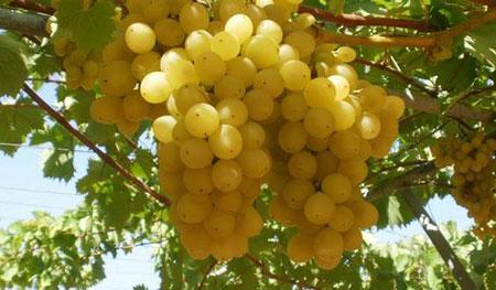 خواص انگور سبز,انگور چه خاصیتی دارد