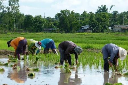 درباره کاشت برنج,خاک مناسب کاشت برنج,کاشت برنج در منزل