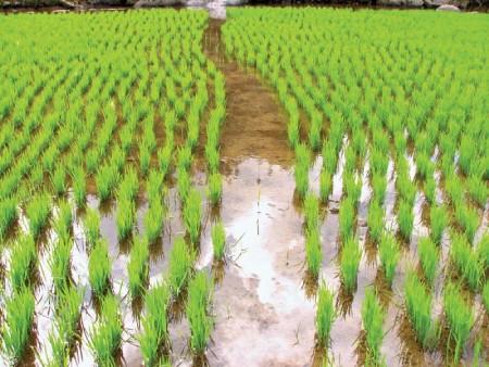 کاشت برنج در منزل,کاشت برنج در گلدان,نحوه کاشت برنج