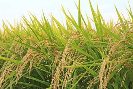 نحوه کاشت برنج,فصل کاشت وبرداشت محصول برنج,کاشت برنج