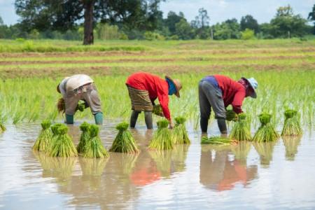 مراحل کاشت برنج,روش های مناسب کاشت برنج,فصل کاشت برنج
