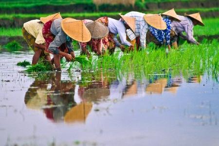 کاشت برنج,مراحل کاشت برنج,درباره کاشت برنج
