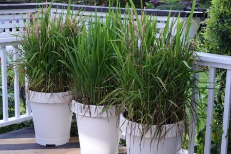کاشت برنج در منزل،کاشت برنج در گلدان,فصل کاشت برنج