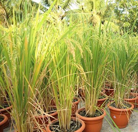 کاشت برنج در گلدان,روش های مناسب کاشت برنج,فصل کاشت برنج
