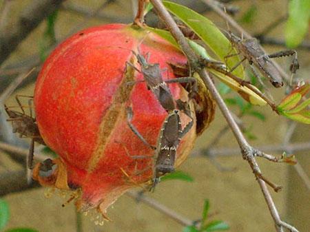 سم مورد نیاز درخت انار,چگونه شته درخت انار را از بین ببریم