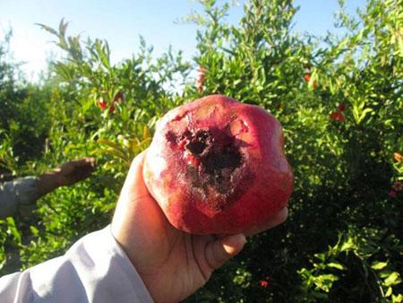 از بین بردن شته درخت انار,علت ریزش گل انار