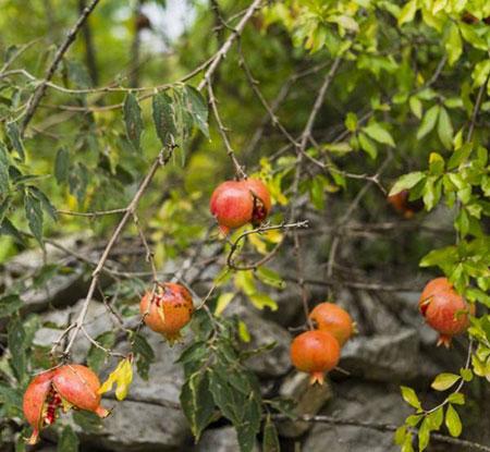 شته درخت انار,سم درخت انار