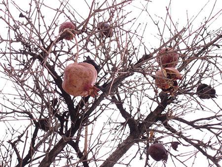 سم برای درخت انار,برای از بین بردن شته درخت انار
