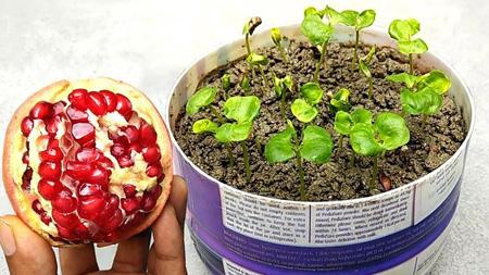 انواع کاشت درخت انار, بهترین شرایط کاشت و درخت انار