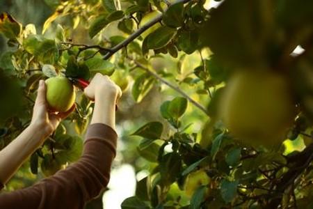 پرورش و نگهداری درخت به, تصاویر درخت به
