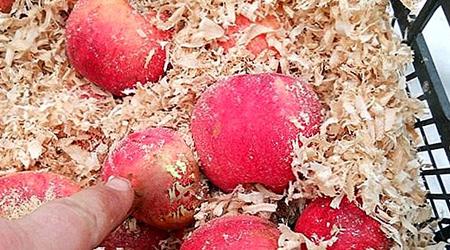 نگهداری سیب, روش نگهداری سیب درختی در خانه