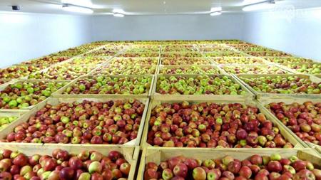 روش نگهداری سیب درختی در خانه, روش نگهداری سیب درختی