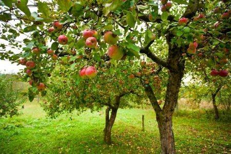 درخت سیب,عکس درخت سیب,پرورش درخت سیب