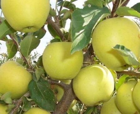 فاصله کاشت درخت سیب,کشت درخت سیب,زمان سمباشی درخت سیب