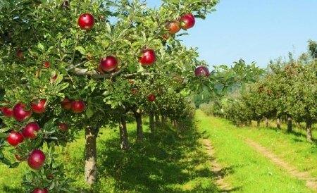 کشت درخت سیب,زمان سمباشی درخت سیب,بهترین زمان براری پیوند درخت سیب