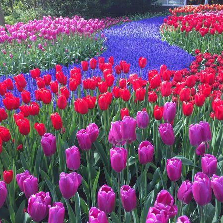 فواید گل لاله ، روش تکثیر و نگهداری گل لاله