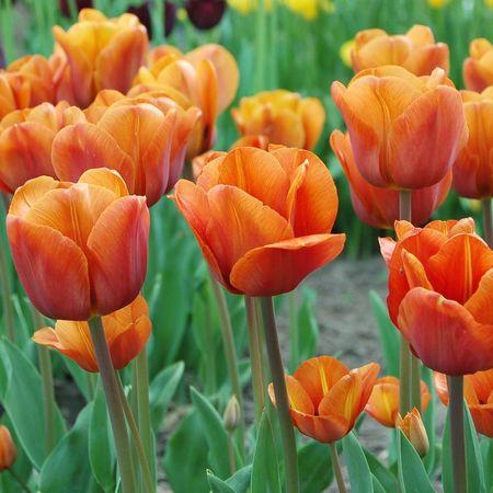 گل لاله واژگون, تصاویر گل لاله, تاریخچه گل لاله