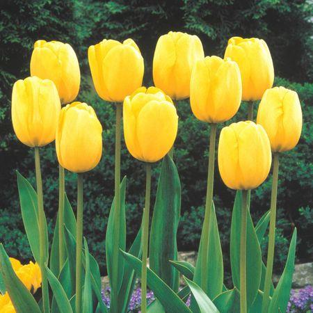 روش تکثیر و نگهداری گل لاله, گل لاله نماد چیست, گل لاله زرد
