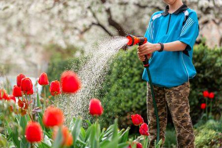 پیاز گل لاله, عمر گل لاله, گل لاله