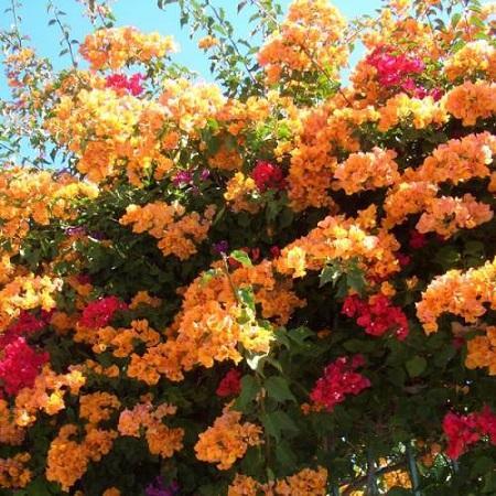گل کاغذی،زمان تکثیر گل کاغذی,خاک مناسب برای گل کاغذی