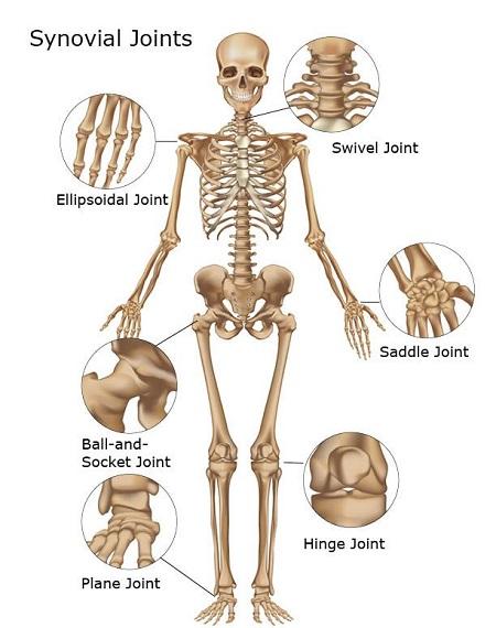 مفاصل بدن,تقسیم بندی مفاصل بدن از لحاظ نوع,مفاصل سینوویال