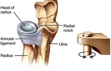 تقسیم بندی مفاصل بدن از لحاظ نوع,عکس مفاصل بدن,مفصل استوانه ای