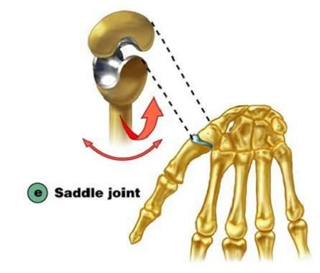 تقسیم بندی مفاصل بدن از لحاظ نوع,مفاصل سینوویال,مفصل زینی شکل