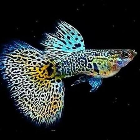 ماهی گوپی,عکس ماهی گوپی,تکثیر ماهی گوپی
