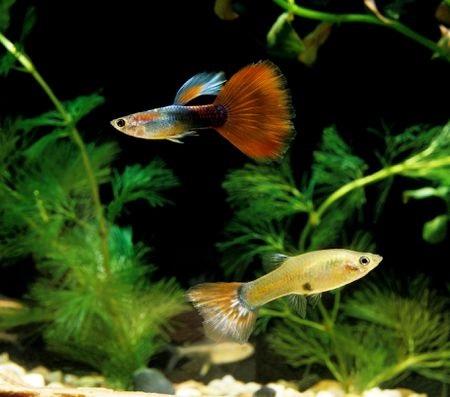 دمای آب برای ماهی گوپی,دمای آب برای ماهی گوپی,تعدادغذادهی ماهی گوپی