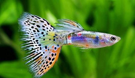 بچه ماهی گوپی,زمان بلوغ ماهی گوپی,تکثیر ماهی گوپی