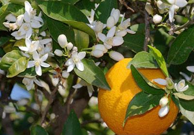 مربای بهار نارنج,طرز تهیه مربای بهار نارنج