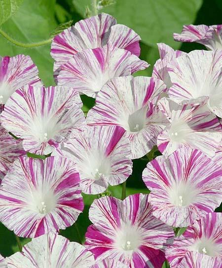 عکس های گل نیلوفر, گیاهشناسی گل نیلوفر