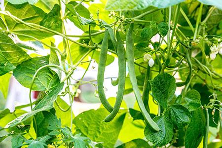 کاشت انواع لوبیا,روش کاشت لوبیا,فصل کاشت لوبیا