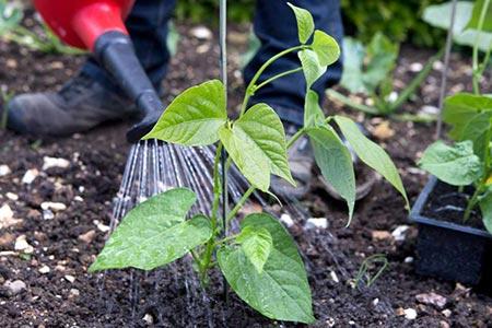 طرز کاشت لوبیا,مراحل کاشت لوبیا,آبیاری لوبیا