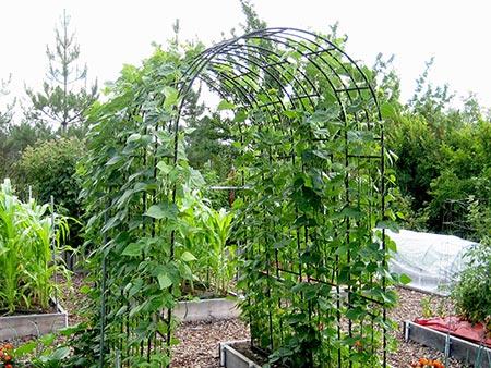 از کاشت تا برداشت لوبیا,مراحل کاشت لوبیا قرمز,کاشت لوبیا در باغچه