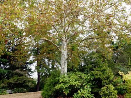 درخت چنار,عکس درخت چنار,میوه درخت چنار