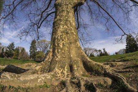عکس درخت چنار,میوه درخت چنار,شکل درخت چنار