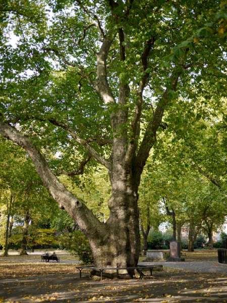 شکل درخت چنار,تکثیر درخت چنار,خواص برگ درخت چنار