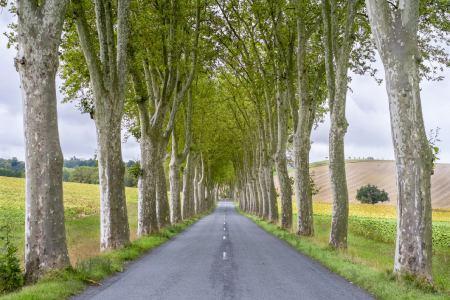 شکل درخت چنار,تکثیر درخت چنار,انواع درخت چنار