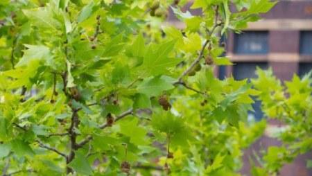 تحقیق در مورد درخت چنار,مشخصات درخت چنار,برگ درخت چنار،