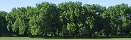 تکثیر درخت چنار,خواص برگ درخت چنار,مشخصات درخت چنار