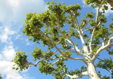 میوه درخت چنار,شکل درخت چنار,تکثیر درخت چنار