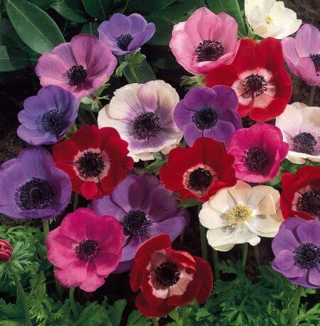 گل شقایق,عکس گل شقایق,گل شقایق وحشی
