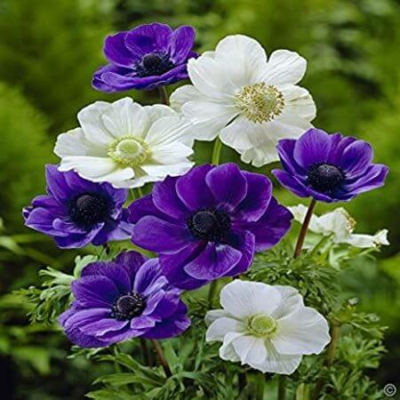 گل شقایق وحشی,تصاویر گل شقایق,راز گل شقایق