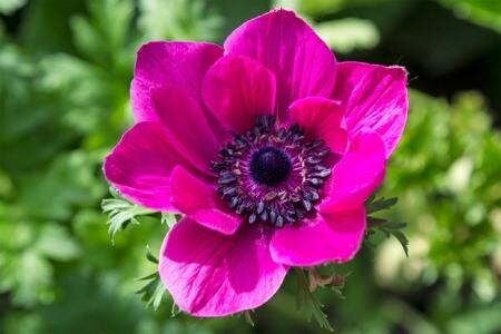 گل شقایق نعمانی,نام علمی گل شقایق,چند نوع گل شقایق وجود دارد