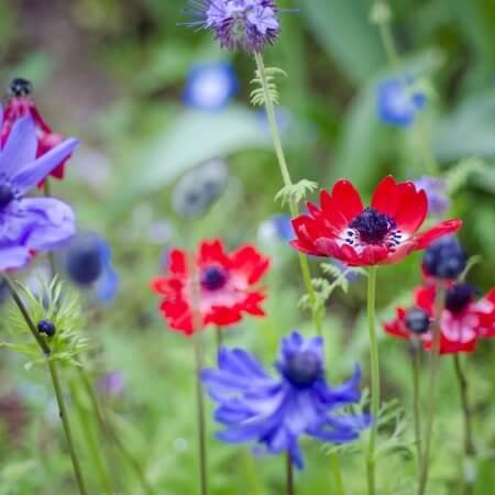 تصاویری زیبا از گل شقایق,خواص گل شقایق,تکثیر گل شقایق
