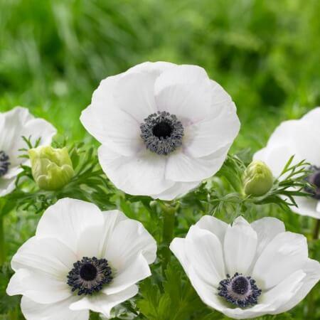 چند نوع گل شقایق وجود دارد,تصاویری زیبا از گل شقایق,فواید گل شقایق