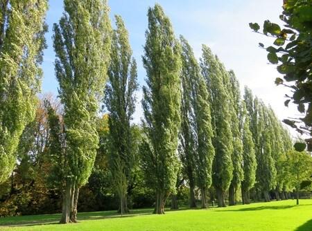استفاده از درخت صنوبر, درخت صنوبر